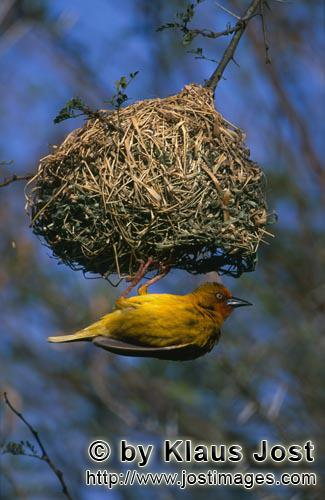Kap-Webervogel/Cape Weaver/Ploceus capensis        Cape Weaver hangs under its nest