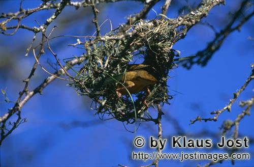 Cape Weaver/Ploceus capensis        Cape weaver bird begins to build a nest