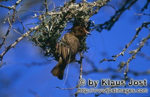 Kap-Webervogel/Cape Weaver/Ploceus capensis        Cape Weaver at nest building, initial phase