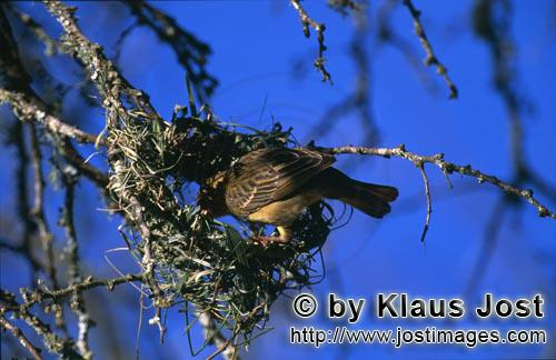 Cape Weaver/Ploceus capensis        Cape Weaver builds a new nest