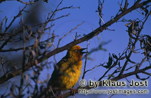 Cape Weaver/Ploceus capensis        Cape Weaver
