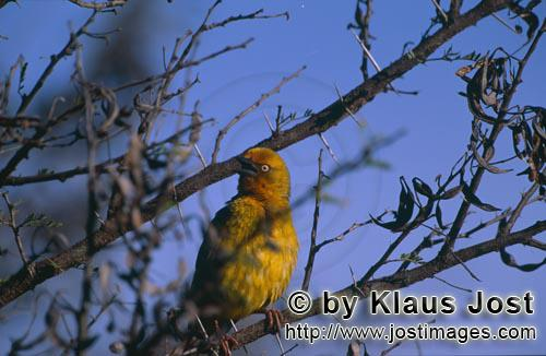 Cape Weaver/Ploceus capensis/        Cape Weaver in the branches