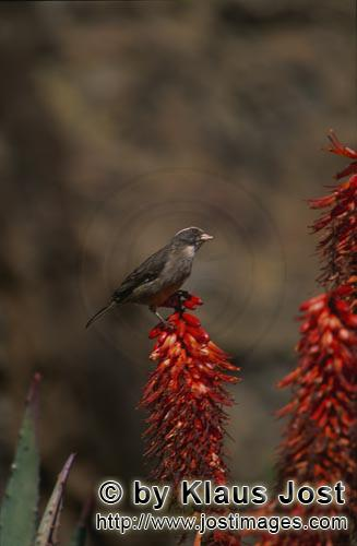 Cape Weaver/Ploceus capensis        Cape Weaver on an Aloe flower
