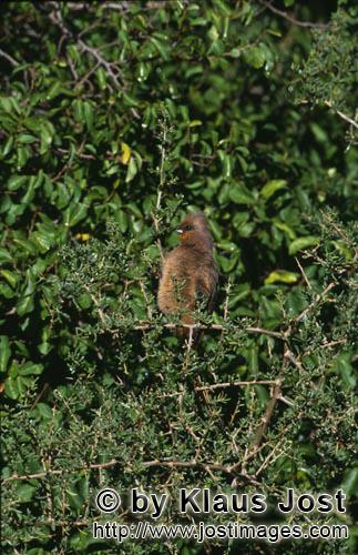Speckled Mousbird/Colius striatus        Speckled mousbird on thorny scrub