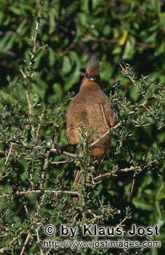 Speckled Mousbird/Colius striatus        Brown wing mouse bird in the thick Bush