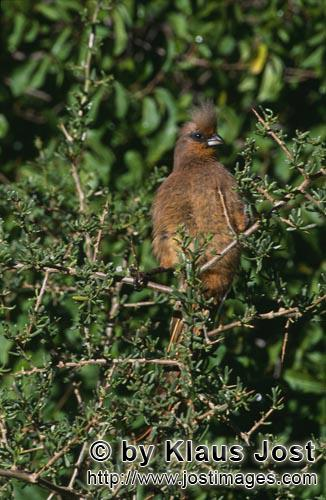 Speckled Mousbird/Colius striatus        Speckled mousbird in the thicket
