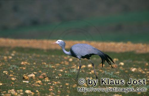 Blue Crane/Anthropoides paradiseus        Blue Crane on rocky grass ground