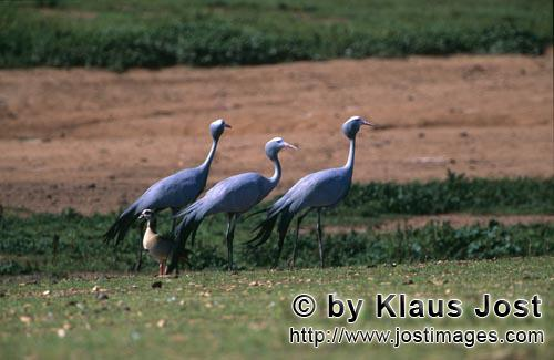 Blue Crane/Anthropoides paradiseus        Blue Cranes on the field