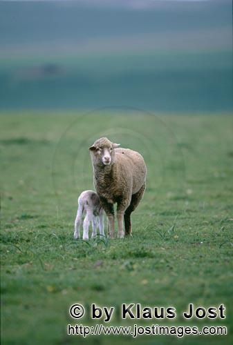 Merino sheep/Merino Schaf        Merino sheep