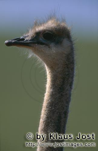 Ostrich/Strauß/Struthio camelus australis        Typical and unmistakable: Ostrich