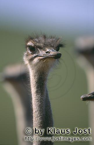 Ostrich/Strauß/Struthio camelus australis        The ostrich is the largest living bird