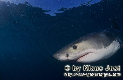 Great White shark/Carcharodon carcharias        Dark blue baby great white shark eye        Six sea
