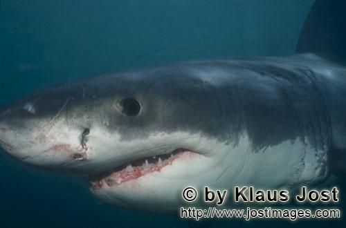 Weißer Hai/Great White shark/Carcharodon carcharias        Baby Great White Shark portrait        S