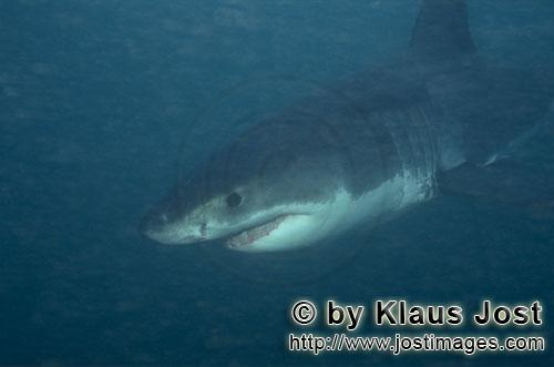 Weißer Hai/Great White shark/Carcharodon carcharias        Baby Great White Shark searching for pre
