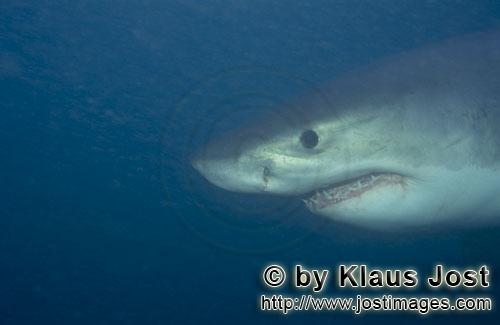 Weißer Hai/Great White shark/Carcharodon carcharias        Young Great White Shark portrait