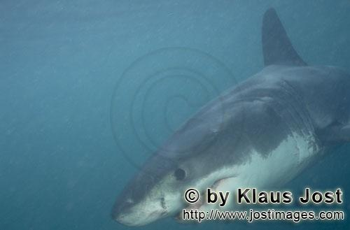 Weier Hai/Great White shark/Carcharodon carchariasBaby Great White Shark near Geyser Rock Six sea miles from the coast of Gansbaai, quite close to Dyer Island and Geyser Rock, a Baby Great White Shark only is seen moving close to the water surface. Great White Sharks are fully developed after birth  at this point in time they are 1.10 to 1.50 meters long  and can take care of themselves from the start. Their nourishment consists of smaller fish and squids. Pups are very careful and vanish off the scene as soon as they see a full-grown shark. Only very few pups reach adulthood.