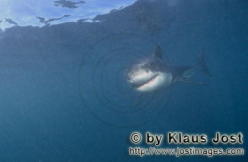 Great White shark/Carcharodon carcharias        Baby Great White Shark - Smiley        Six sea miles