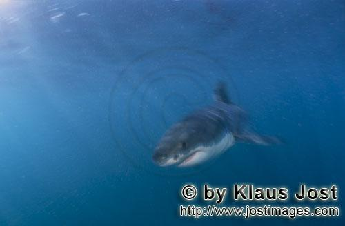 Weißer Hai/Great White shark/Carcharodon carchariasBaby Great White Shark searching for prey Six sea miles from the coast of Gansbaai, quite close to Dyer Island and Gyser Rock, a Great White Shark only a few days old is seen moving close to the water surface. Great White Sharks are fully developed after birth – at this point in time they are 1.10 to 1.50 meters long – and can take care of themselves from the start. Their nourishment consists of smaller fish and squids. Pups are very careful and vanish off the scene as soon as they see a full-grown shark. Only very few pups reach adulthood.