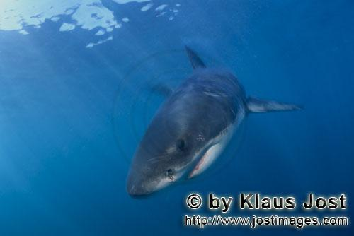 Weißer Hai/Great White shark/Carcharodon carchariasBaby Great White Shark Six sea miles from the coast of Gansbaai, quite close to Dyer Island and Gyser Rock, a Baby Great White Shark is seen moving close to the water surface. Great White Sharks are fully developed after birth – at this point in time they are 1.10 to 1.50 meters long – and can take care of themselves from the start. Their nourishment consists of smaller fish and squids. Pups are very careful and vanish off the scene as soon as they see a full-grown shark. Only very few pups reach adulthood.