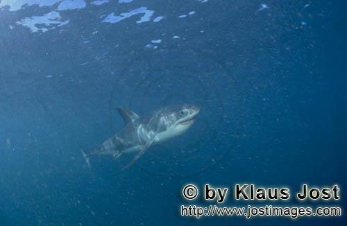 Great White shark/Carcharodon carcharias        Young White Shark in plankton-rich water         Six