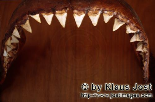 Great White shark/Carcharodon carcharias        The jaw of a six-metre-long Great White shark        The
