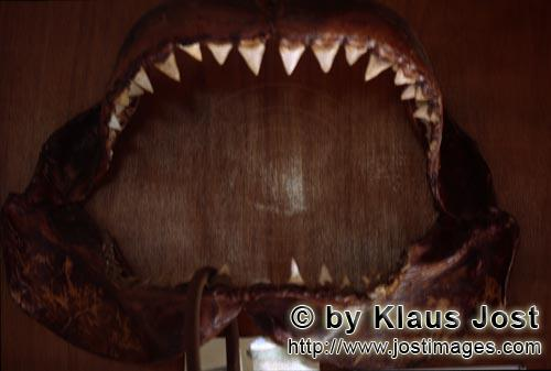 Great White shark/Carcharodon carcharias        Impressive great white shark jaw        The jaw w