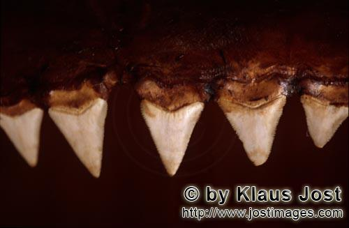 Great White shark/Carcharodon carcharias        The teeth of a six meter Great White Shark        Th