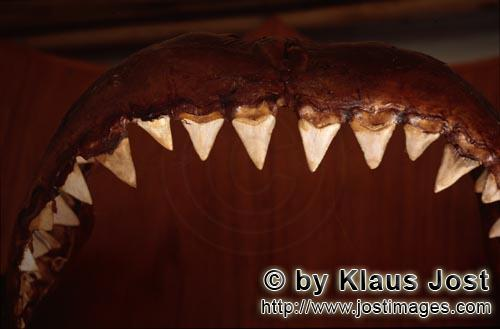 Great White shark/Carcharodon carcharias        Coveted trophies: jaws and teeth from the Great Whit