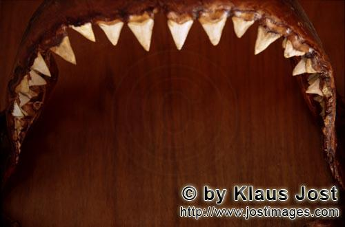 Great White shark/Carcharodon carcharias        Jaw of six-meter Great White Shark        The jaw