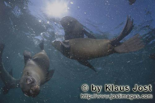 Suedafrikanische Pelzrobbe/South African fur seal/Arctocephalus pusillusSouth African Fur Seal in heavy ground swellOn the rocky island called Geyser Rock, in the immediate vicinity of Dyer Island, lives a seal colony of approximately 60,000 animals. As long as the South African Fur Seals (Arctocephalus pusillus) stay ashore and in the shallow water in the immediate vicinity of the island there is no danger for them. But if they start for their fishing hauls on the open sea – they dive 40 to 50 metres deep and are able to stay under water for up to five minutes – while swimming out and at their return, they have to cross a dangerous area which is tough for them. White Sharks lurk here. Seals are especially valuable for them. The danger is not over until the seals are back ashore. The high concentration of Great White Sharks is due to the seal colony.