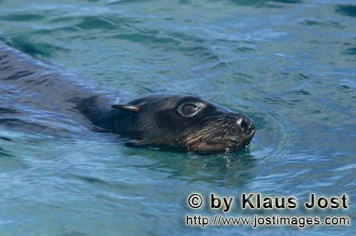 Suedafrikanische Pelzrobbe/South African fur seal/Arctocephalus pusillusSouth African Fur SealOn the rocky island called Geyser Rock, in the immediate vicinity of Dyer Island, lives a seal colony of approximately 60,000 animals. As long as the South African Fur Seals (Arctocephalus pusillus) stay ashore and in the shallow water in the immediate vicinity of the island there is no danger for them. But if they start for their fishing hauls on the open sea  they dive 40 to 50 metres deep and are able to stay under water for up to five minutes  while swimming out and at their return, they have to cross a dangerous area which is tough for them. White Sharks lurk here. Seals are especially valuable for them. The danger is not over until the seals are back ashore. The high concentration of Great White Sharks is due to the seal colony.