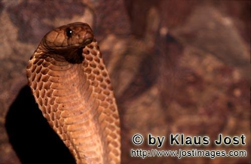 Kapkobra/Cape Cobra/Naja nivea        Cape Cobra a dangerous beauty