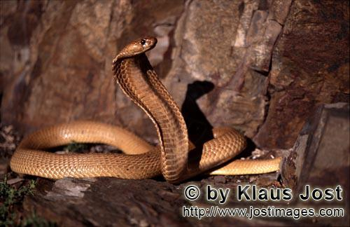 Kapkobra/Cape Cobra/Naja nivea        Dangerous Beauty Cape Cobra