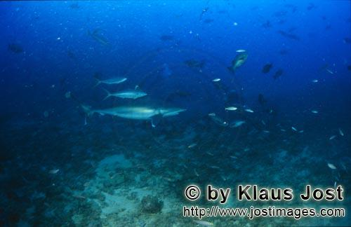 Silvertip shark/Carcharhinus albimarginatus        Silver tip shark close above the sea floor