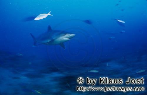 Silvertip shark/Carcharhinus albimarginatus        Silvertip shark in the blue water of Beqa Lagoon<