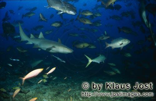 Gewoehnlicher Ammenhai/Tawny nurse shark/Nebrius ferrugineus        Tawny nurse shark