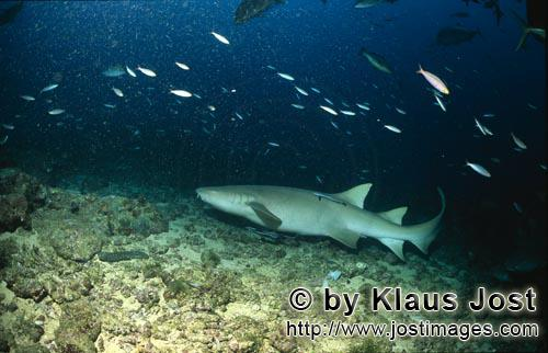 Gewoehnlicher Ammenhai/Tawny nurse shark/Nebrius ferrugineus        Tawny nurse shark very close on