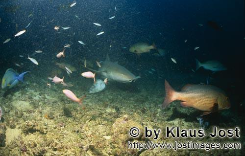 Gewoehnlicher Ammenhai/Tawny nurse shark/Nebrius ferrugineus        Tawny nurse shark explore the Sh