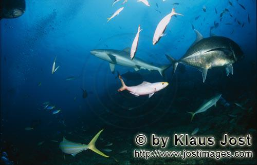 Bull Shark/Carcharhinus leucas        Bull Shark and Giant Trevally        Together with the Tiger S