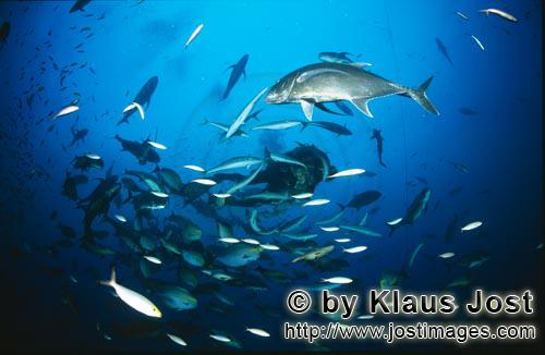 Dickkopf-Makrele/Giant Trevally/Caranx ignobilis        Giant Trevally and coral fishes