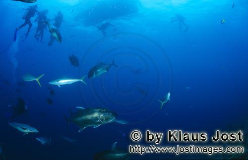 Giant Trevally and diver