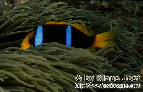 Rotmeer-Anemonenfisch/Red Sea anemonefish/Amphiprion bicinctus         Red Sea anemonefish