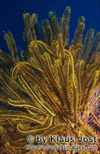 Gelber Haarstern/Yellow feather star/Comanthina sp.        Yellow feather star
