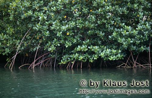 Red Mangrove/Rhizophora mangle L.         Red Mangrove in the greenish waters of the Qara-ni-Qio Riv