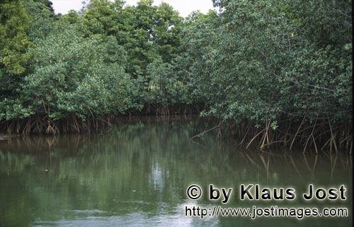 Rote Mangrove/Red Mangrove/Rhizophora mangle L.         Red Mangrove (Rhizophora mangle L.)