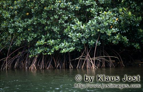 Red Mangrove/Rhizophora mangle L.         Impenetrable Red mangroves on the river bank