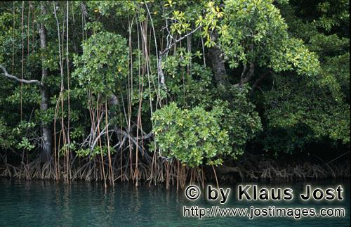 Red Mangrove/Rhizophora mangle L.         Red Mangroves line the shore of Qarani-Qio River