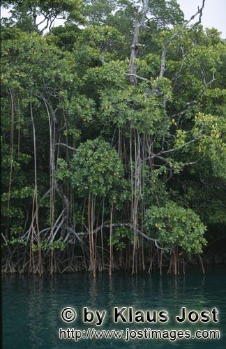 Red Mangrove/Rhizophora mangle L.        Mangrove jungle on the river