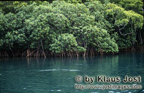 Rote Mangrove/Red Mangrove/Rhizophora mangle L.         Mangroves in brackish water of the Qara-ni h