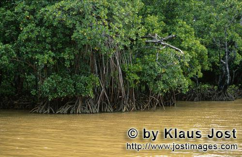 Red Mangrove/Rhizophora mangle L.         Mangroves in the yellow-Qarani Qio River river water